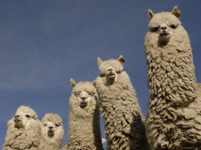 Alpacas-Andes-Ecuador-Photographic-Print-C13062736